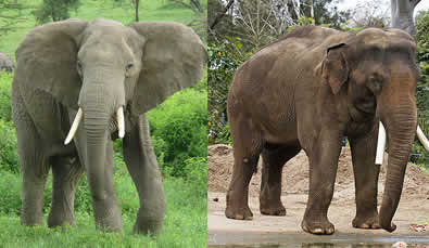 The difference between African and Asian Elephants